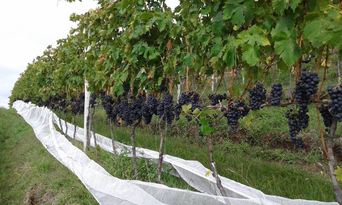 Uva, Terroirs e Vinhos |
