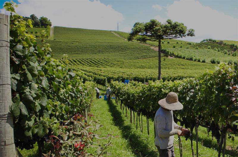 Vinícola brasileira | Foto: Divulgação